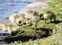 Χηνάρια μωρών Στοκ φωτογραφία με δικαίωμα ελεύθερης χρήσης