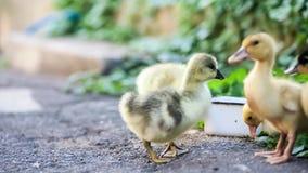 Χηνάρι και νεοσσός στην πράσινη χλόη απόθεμα βίντεο