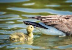 Χηνάρι καναδοχηνών που κολυμπά πίσω από τη μητέρα Στοκ εικόνα με δικαίωμα ελεύθερης χρήσης