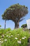 χιλιετές δέντρο drago Στοκ εικόνα με δικαίωμα ελεύθερης χρήσης