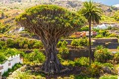 Χιλιετές δέντρο Drago Στοκ Φωτογραφίες