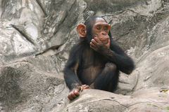 χιμπατζής λίγα Στοκ Εικόνες