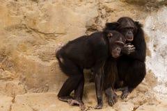 χιμπατζής δύο Στοκ Φωτογραφία