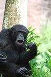 Χιμπατζής με τα χείλια του Puckered για να κάνει τους θορύβους στοκ φωτογραφία με δικαίωμα ελεύθερης χρήσης