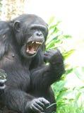 Χιμπατζής που λέει Ahhhh για το γιατρό στοκ εικόνες