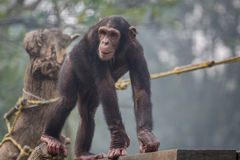 Χιμπατζής που περπατά σε μια ξύλινη σανίδα σε έναν ζωολογικό κήπο Στοκ Εικόνες