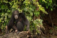 Χιμπατζής στο κούτσουρο Στοκ Εικόνες