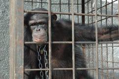 Χιμπατζής στο κλουβί και στις αλυσίδες Στοκ Φωτογραφίες