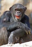 Χιμπατζής στοκ εικόνα