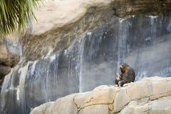 χιμπατζής Στοκ φωτογραφίες με δικαίωμα ελεύθερης χρήσης