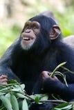 χιμπατζής Στοκ Φωτογραφίες