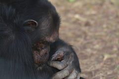 χιμπατζής 3 στοκ φωτογραφίες