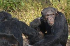 χιμπατζής 5 στοκ φωτογραφία