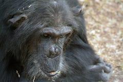 1 χιμπατζής στοκ φωτογραφία