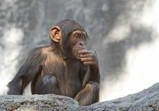 χιμπατζής Στοκ εικόνες με δικαίωμα ελεύθερης χρήσης