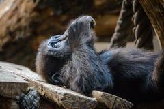 χιμπατζής στοκ φωτογραφία με δικαίωμα ελεύθερης χρήσης
