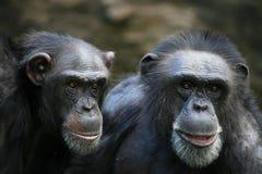 χιμπατζήδες Στοκ φωτογραφία με δικαίωμα ελεύθερης χρήσης