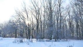 Χιονίζοντας φως του ήλιου τοπίων φύσης χειμερινών τομέων χιονιού δέντρων φιλμ μικρού μήκους