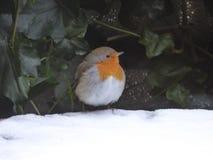 Χιονιά - η ευρωπαϊκά Robin - rubecula Erithacus Στοκ φωτογραφία με δικαίωμα ελεύθερης χρήσης