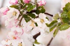 Χιονισμένα άνθη της Apple καβουριών την πρώιμη άνοιξη Στοκ Φωτογραφίες