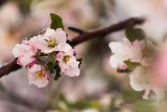 Χιονισμένα άνθη της Apple καβουριών την πρώιμη άνοιξη Στοκ εικόνα με δικαίωμα ελεύθερης χρήσης