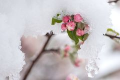 Χιονισμένα άνθη της Apple καβουριών την πρώιμη άνοιξη Στοκ φωτογραφίες με δικαίωμα ελεύθερης χρήσης