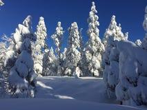 Χιονισμένα δέντρα πεύκων κοντά Flagstaff, Αριζόνα Στοκ Εικόνα