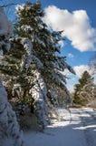 Χιονισμένα δέντρα κέδρων κατά μήκος του δρόμου μια ηλιόλουστη χειμερινή ημέρα στοκ εικόνα