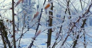 Χιονισμένα δέντρα, ξηροί κάλαμοι στο χιόνι, φωτεινό φως του ήλιου που πέφτει με το χιόνι, snowflakes που πέφτει από τα δέντρα απόθεμα βίντεο