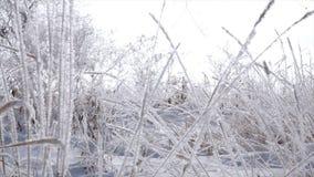 Χιονισμένα δέντρα, ξηροί κάλαμοι στο χιόνι, φωτεινό φως του ήλιου που πέφτει με το χιόνι, snowflakes που πέφτει από τα δέντρα φιλμ μικρού μήκους