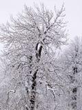 Χιονισμένα δέντρα στο βουνό στοκ εικόνα