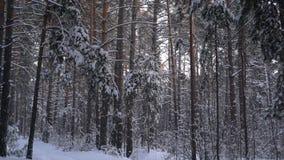 Χιονισμένα πεύκα στο χειμερινό δάσος απόθεμα βίντεο