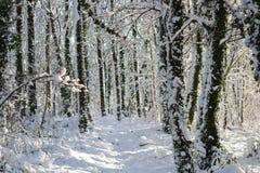 Χιονισμένα χειμερινά δέντρα στο δάσος στοκ εικόνες