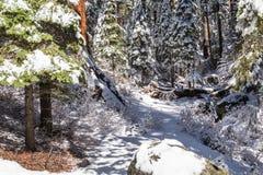 Χιονισμένα Sequoias γιγάντων Στοκ εικόνες με δικαίωμα ελεύθερης χρήσης