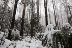 Χιονισμένες δέντρα και φτέρες ευκαλύπτων στην Αυστραλία Στοκ εικόνες με δικαίωμα ελεύθερης χρήσης