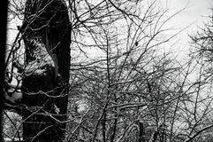 Χιονισμένη βαλανιδιά στο δάσος Ιανουαρίου Στοκ Εικόνες
