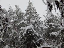 Χιονισμένη κορώνα των ψηλών πεύκων στοκ εικόνες