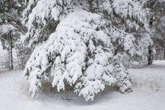 Χιονισμένοι κλάδοι δέντρων πεύκων στο δάσος Στοκ εικόνες με δικαίωμα ελεύθερης χρήσης