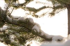 Χιονισμένοι κλάδοι των δέντρων έλατου στον ηλιόλουστο καιρό, κινηματογράφηση σε πρώτο πλάνο Στοκ Φωτογραφία