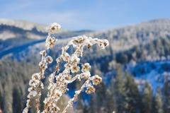 Χιονισμένος θάμνος στα χειμερινά βουνά Στοκ Εικόνες