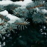 Χιονισμένος κλάδος έλατου Φυσική ανασκόπηση ερυθρελάτες Στοκ εικόνα με δικαίωμα ελεύθερης χρήσης