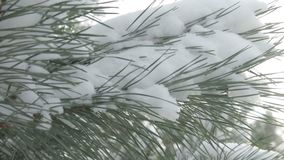Χιονισμένος κλάδος δέντρων στο ηλιοβασίλεμα φιλμ μικρού μήκους