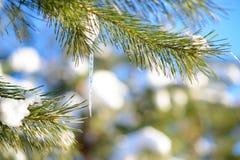 Χιονισμένος κλάδος πεύκων με το παγάκι στο σαφές υπόβαθρο μπλε ουρανού στην ηλιόλουστη θερμή ημέρα ανοίξεων Στοκ Φωτογραφία