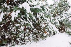 Χιονισμένος κλάδος δέντρων στο ηλιοβασίλεμα Στοκ Φωτογραφίες