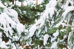 Χιονισμένος κλάδος δέντρων στο ηλιοβασίλεμα Στοκ Εικόνα