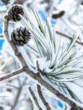 Χιονισμένος κλάδος πεύκων με τους κώνους Στοκ Εικόνα