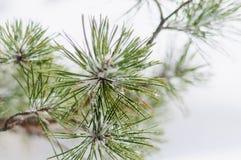 Χιονισμένος κλάδος πεύκων στοκ εικόνα
