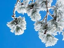 Χιονισμένος κλάδος του πεύκου με τους κώνους στο υπόβαθρο του μπλε SK Στοκ φωτογραφία με δικαίωμα ελεύθερης χρήσης