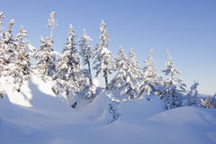 Χιονισμένο δέντρο έλατου μπλε ουρανός Χειμώνας Στοκ Εικόνα