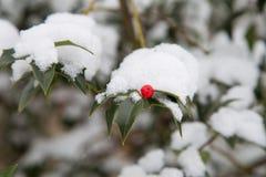 Χιονισμένο δέντρο της Holly Στοκ Εικόνες